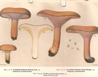 1895 Vintage Botanical Print of Mushrooms. Edible Fungi. Plate 28
