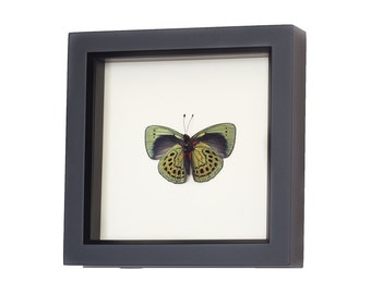 Real Framed Butterfly Charles Darwin Specimen Callithea philotima