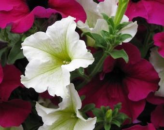 Petunias Original Photograph