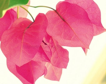 Pink flower photography -- pink bougainvillea . Size in inches : 8 x 8  16x16