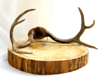 SALE.vintage deer antlers.fur.cap.8 point.naturally found.cabin.mountain.urban industrial.tessiemay