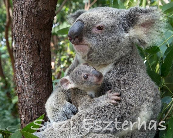 Baby koala hugging mom photo koala bear baby by babyanimalprints - Pics of baby koalas ...