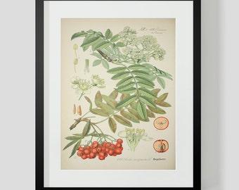 Botanical Cranberry Print Plate 422