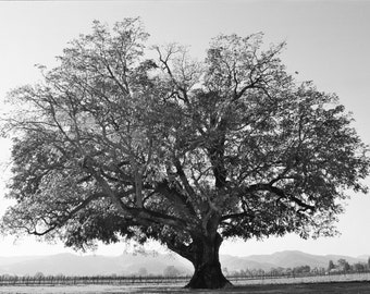 Fine Art Photograph Majestic Oak Tree Black and White