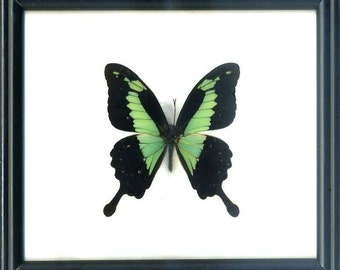 "We accept Bitcoin! real framed butterfly Papilio phorcas aka ""Apple-green Swallowtail"" Lepidoptera"