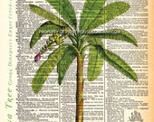 """Banana tree, palm tree, dictionary print, Vintage Botanical Illustration, Printed on an 8""""x11"""" Antique Dictionary Page."""