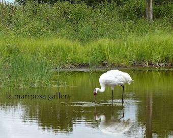 Original Fine Art Photo of Whooping Crane Fishing
