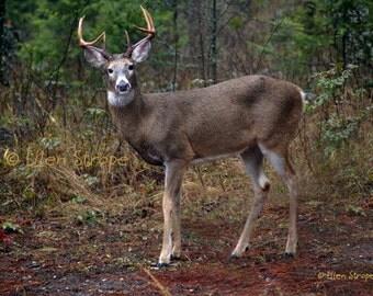 NOTE CARD, Photo, Whitetail Buck, Deer, Buck, Blank Note Card, Deer Decor, paper goods, Rustic decor, Ellen Strope