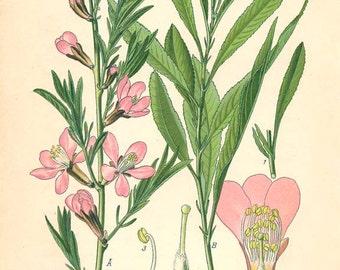 DWARF RUSSIAN ALMOND - Book Plate Chromolithograph Flora Von Deutschland 2554
