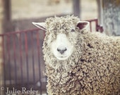 SALE sheep, rustic decor, french country, farm animal photography