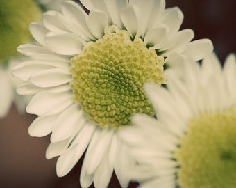 Daisy photo, daisy print, daisy canvas, green and yellow, flower photo, macro flower, floral photography