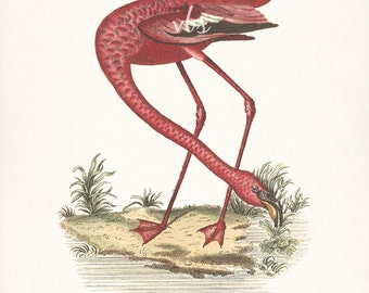 Coastal Decor Sea Bird Natural History Giclee Art Print - Flamingo No. 2  8x10