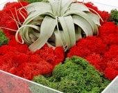 tic tac moss - zen garden, living art, living wall, succulent planter, housewarming gift, office gift, centerpiece, air plant, unique gift