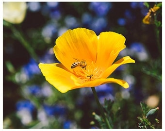 Bee photograph - nature photography - floral photograph - floral bee nature photography - colorful nature photograph - wall art home decory
