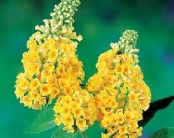 7 African Butterfly Bush Seeds-1182A