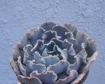 """Echeveria Shaviana cv """"Blue Truffles"""""""