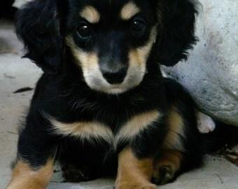dog photography, dachshund photo,
