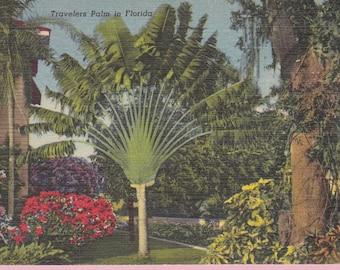 """Ca. 1953 """"Travelers Palm"""" in Florida Topographical Picture Post Card - 989"""