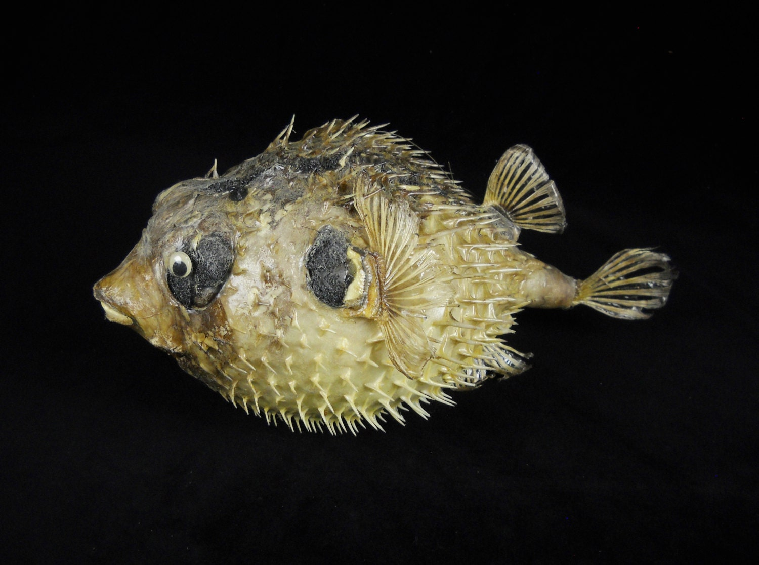 Half off sale 14 taxidermy puffer fish real preserved for Puffer fish price