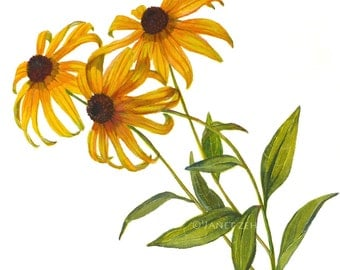 Botanical Print Black Eyed Susan Flowers Rudbeckia Watercolor Illustration by Janet Zeh