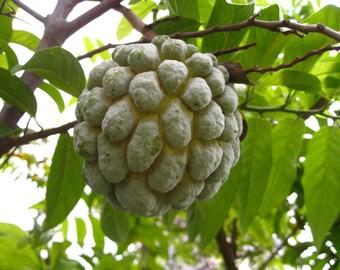 Organic 10 Seeds Sugar Apple Annona Squamosa Fruit Seeds Custard Apple T034
