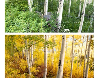 "Two 20"" x 30"" Prints on Canvas, Fine Art Prints, Aspen Trees, Colorado - ""Chasing The Colors of Summer"" & ""Chasing The Colors of Fall"""