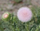 Pink Thistle, Spring, Landscape photography, Nature Photography, Texas, Hill Country, flower, pink, Wildflower, fine art print, wild flowers