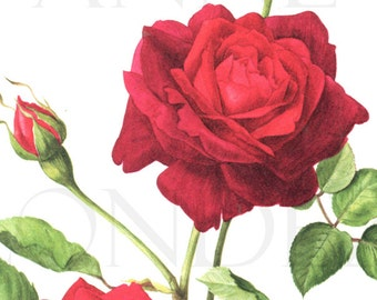 1962 Vintage Red Rose poster Vintage botanical art vintage floral illustration Guinee rose gift Red rose decor Floral decor Flower decor