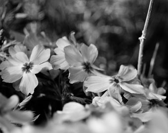 Delicate White Flowers  Black and White Nature Photography
