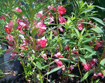 25 Balsam Touch Me Not Deep Rose Seed