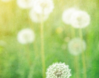 Spring Sunshine on Fluffy Dandelion Flowers -Nature Print -Green & Yellow Bright Colorful -Wall Art Home Decor - Fine Art Photography Print