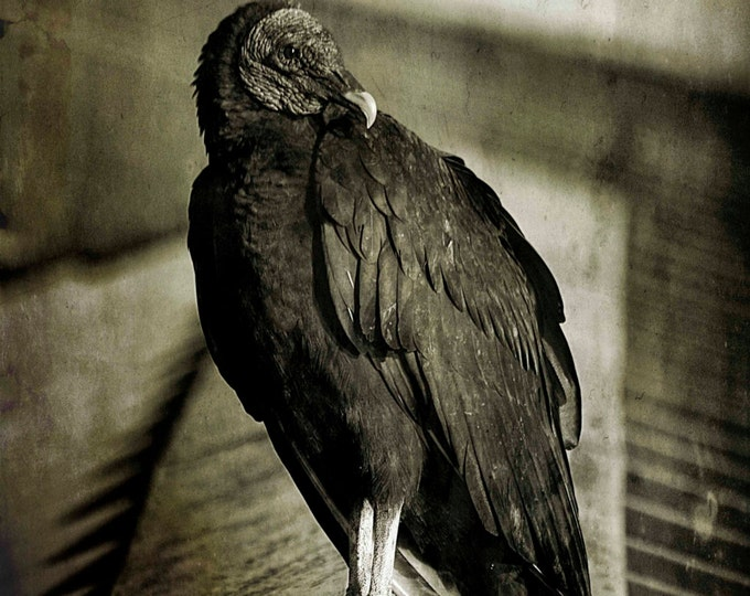 Vulture, Photography, Bird Photography, Nature Photography