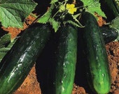 Spacemaster 80 Heirloom Cucumber Seeds Non-GMO Naturally Grown Open Pollinated