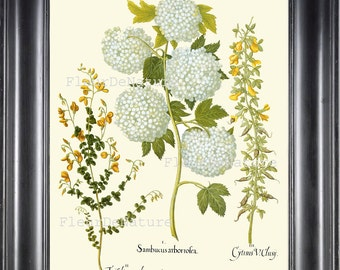 BOTANICAL PRINT Besler 8x10 Botanical Art Print 60 Beautiful White Hydrangea Garden Flower Plant Summer Antique Writing to Frame