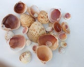 Natural Sea Shells 30 ea, Beach Decor, Beach Wedding, Supplies, Seashell Crafts