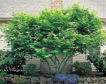 1000 Vine Maple Tree Seeds, Acer Circinatum