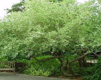50 Autumn Olive Tree Seeds, Elaeagnus umbellata
