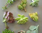 Succulent Cuttings Gift Box Birthdays Showers Parties