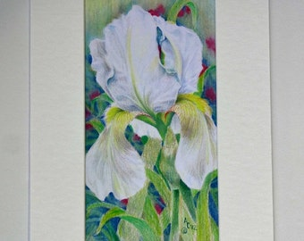 White Iris original pencil painting-available in Greeting, Note, and Gift cards or digital print