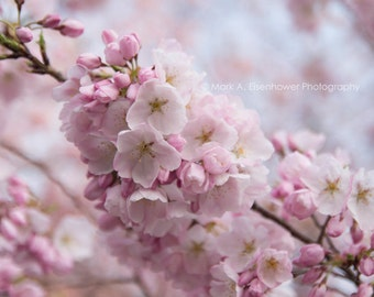 Cherry Blossom Photography Nature Flower Spring Photography bokeh Washington DC Cherry Blossom Festival pink decor tree branch nursery room