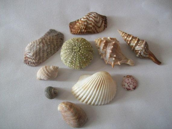 Maine seashells beach shells craft supplies sea shells sea for Bag of seashells for crafts