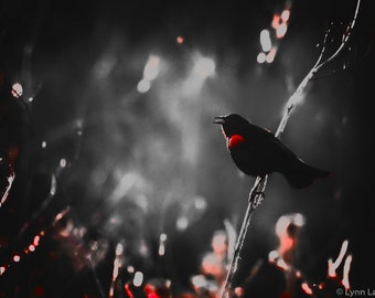"""Black and White Photography - blackbird on a branch, red-winged, home decor, red and black, nature, blackbird photograph - """"Calling Home"""""""
