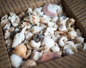 "Bulk Seashells 14 Pounds of Large Sea Shells Great Selection 1/2"" to 3 1/2"" Shells"