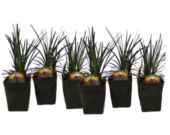 Black Mondo Grass Plants Grown Organically 6 - 4 Inch Containers - Easy To Grow Great For Container Gardens or Shade Areas!