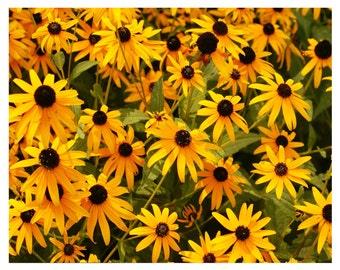 Daisy Photography 8 x 10 flower Fine Art Photo-Nature Photography-Yellow daisies-Home Decor