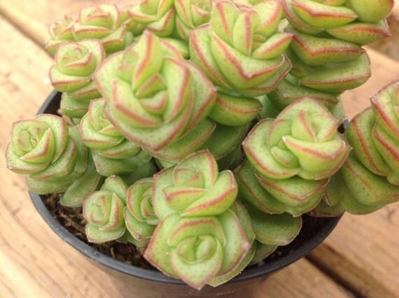 Plante succulente crassula collier de jade for Plante crassula