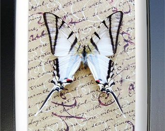 Old Handwritten Letter With Zebra Swallowtail Real Butterfly In Shadowbox