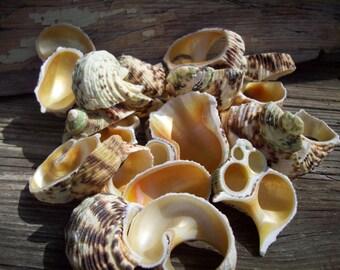 10pc Multi Cut Gold Mouth Shells - Seashell - Wedding Supplies - Beach Wedding