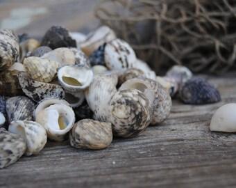 Beach Decor - 25pc Mixed Nerita Shells  - Wholesale Shells - Bulk Shells - Craft Shells - Jewelry