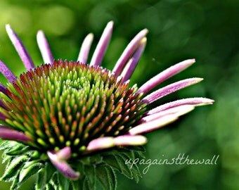 Baby Coneflower in 16 x 20